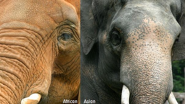 African and Asian bull elephants