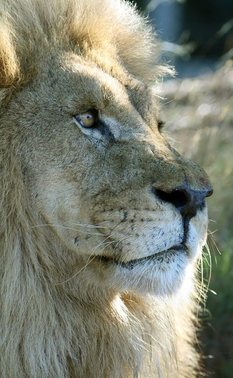 large lion closeup