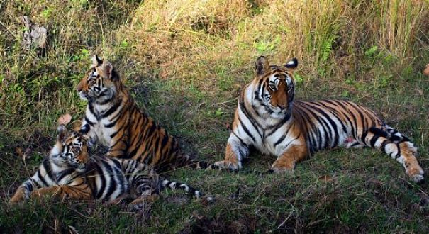 mother tigress and cubs