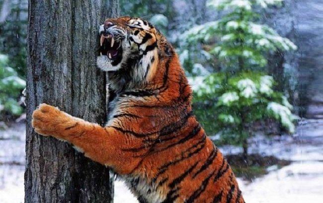 tiger hugging a tree
