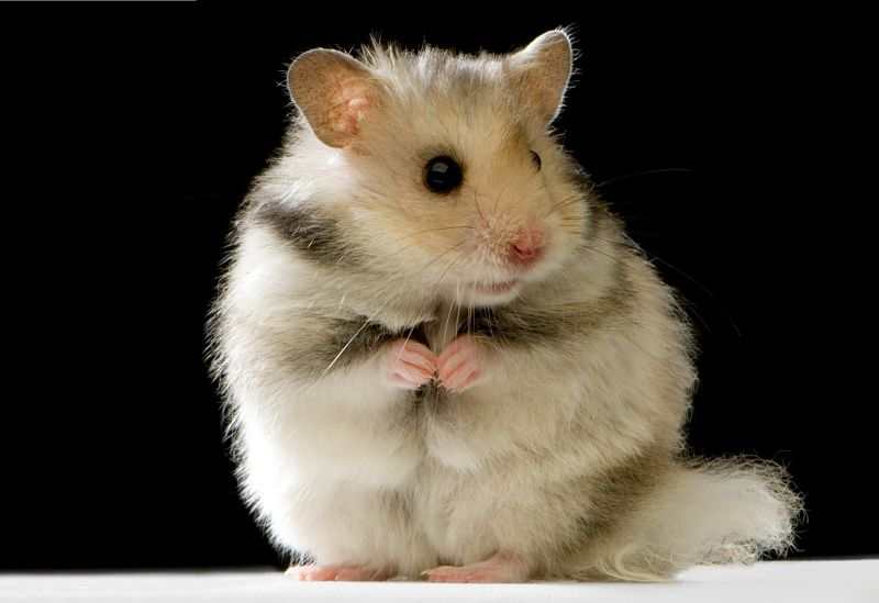 Syrian hamster sitting upright