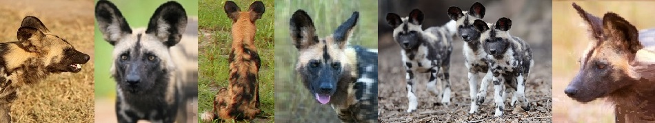 fascinating African wild dogs
