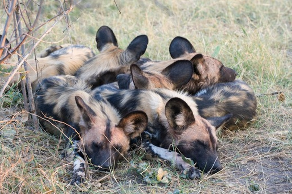 African wild dog sleep pile