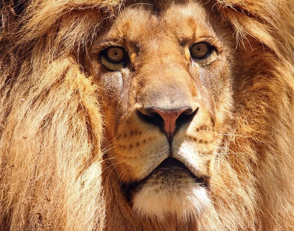 lion extreme close-up
