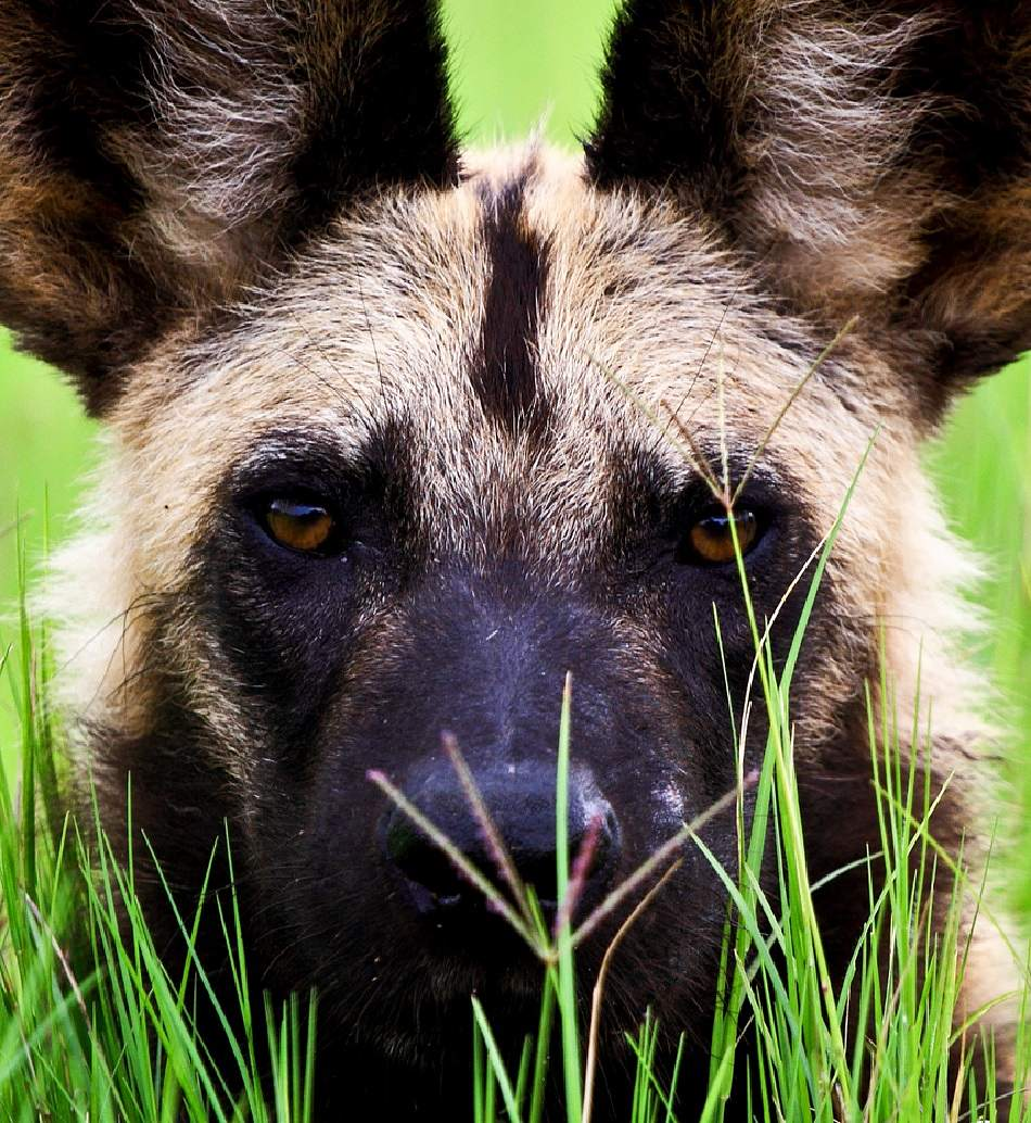 african wild dog extreme close-up