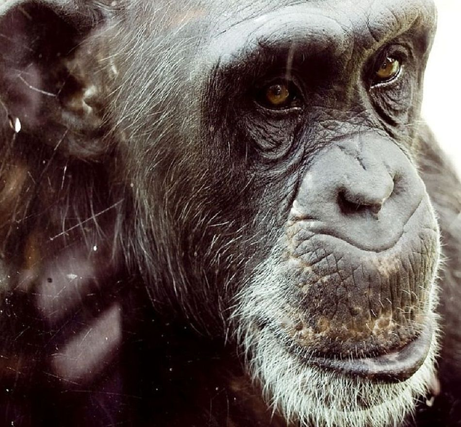 Chimp Facts - Animal Facts Encyclopedia