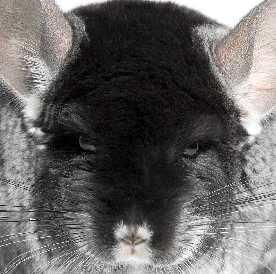 animal extreme close-up chinchilla