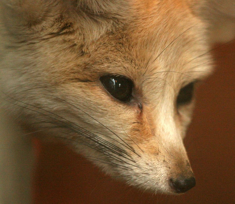 Animal Extreme Close-up - Fennec Fox