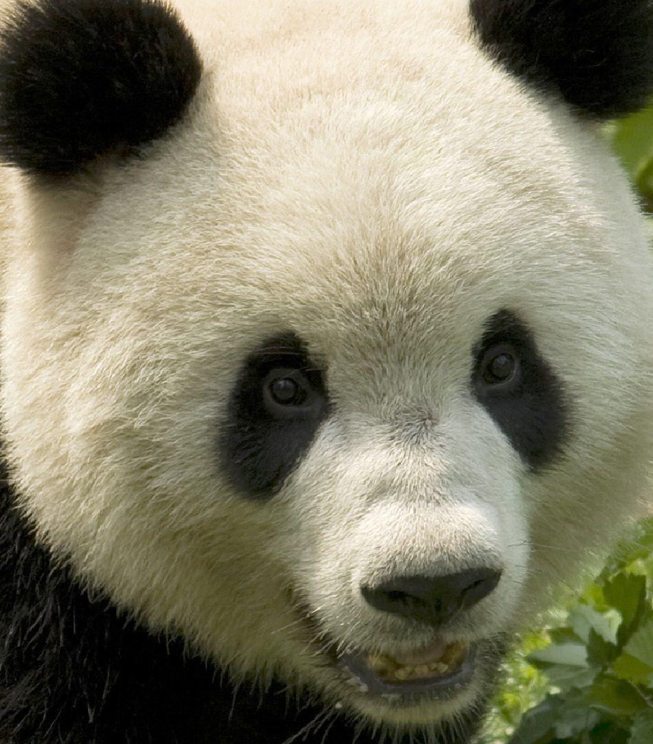 giant panda extreme close-up