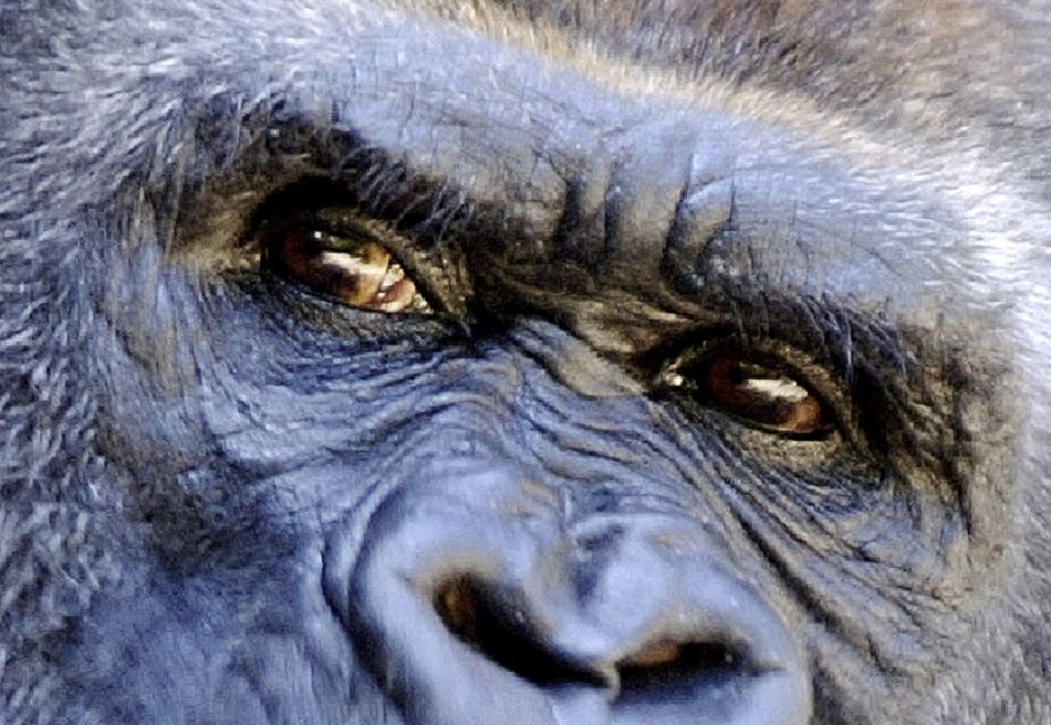 Animal Extreme Closeup - Gorilla