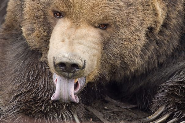 grizzly extreme close-up