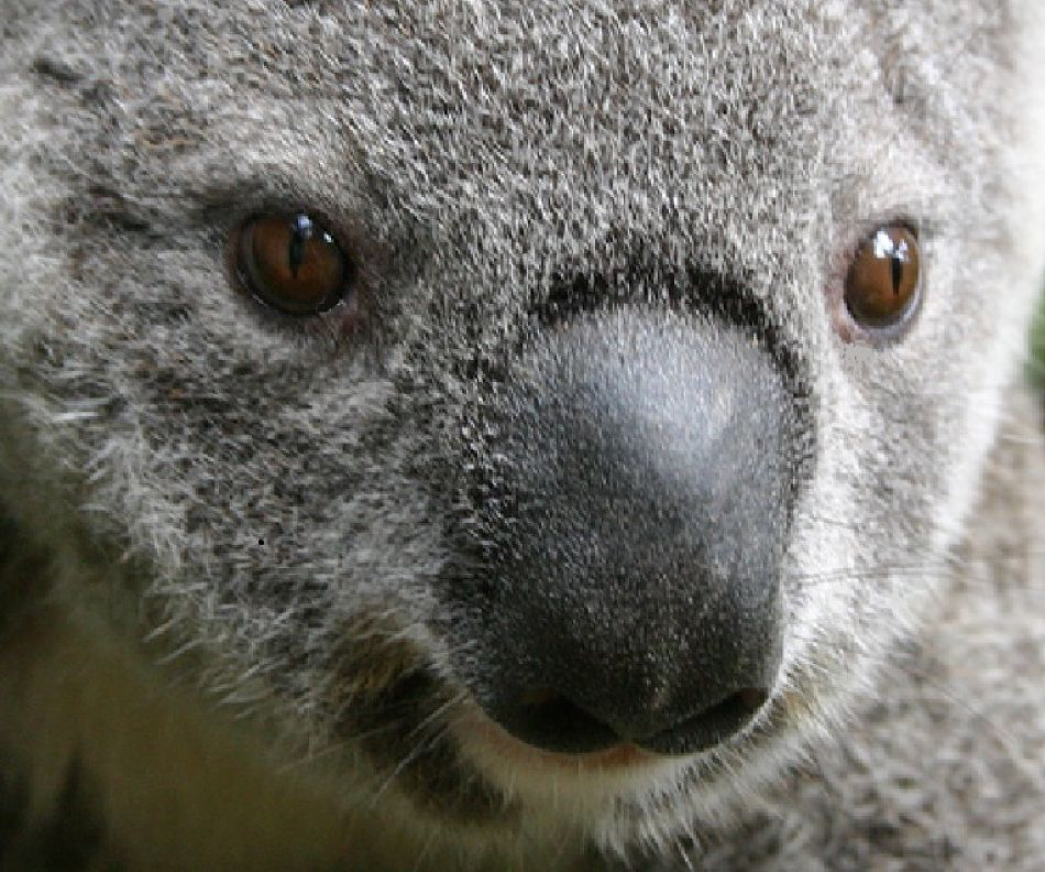 koala bear extreme close-up