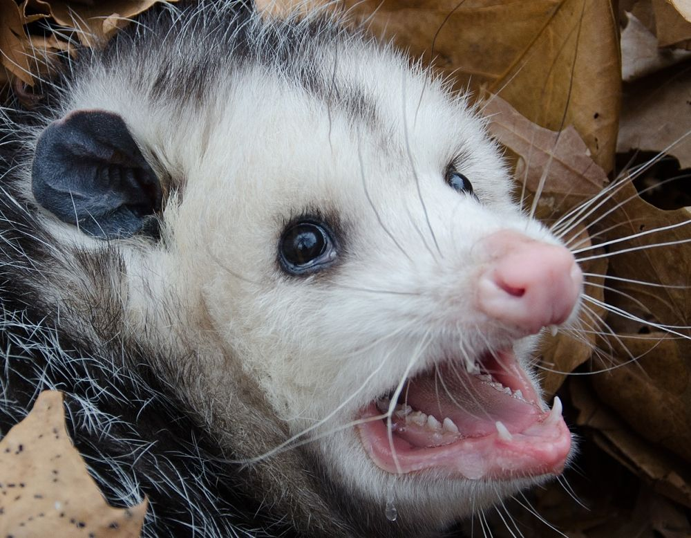 animal-extreme-close-up-opossum-threatening