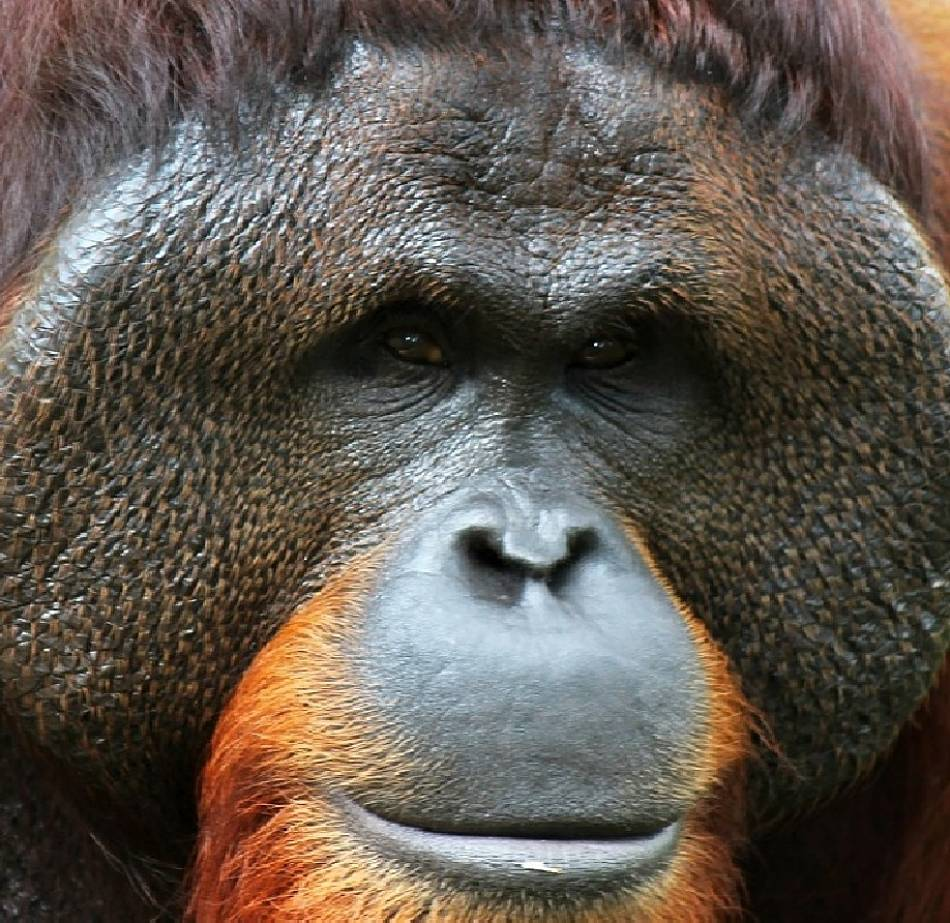 orangutan extreme close-up