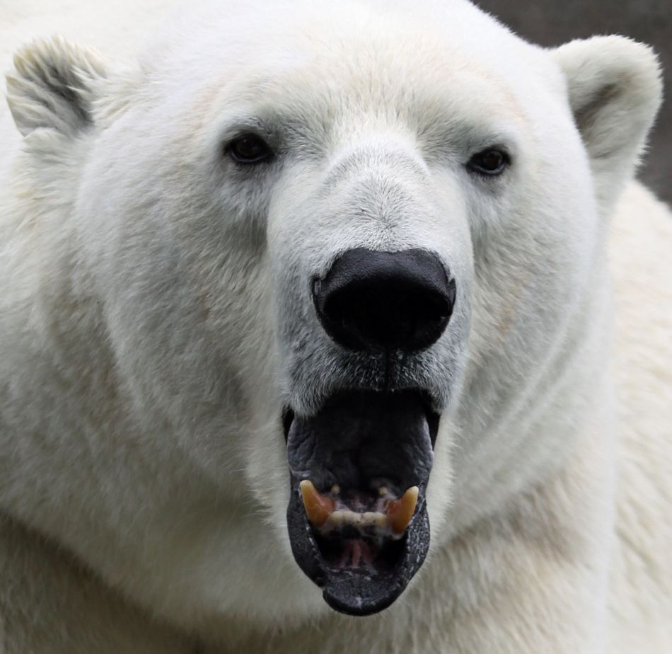 Animal Extreme Close-up - Polar Bear