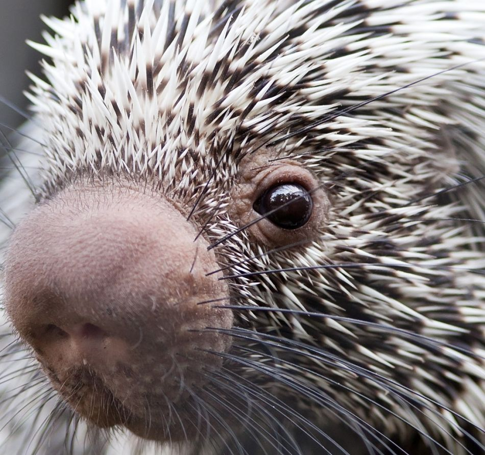 porcupine extreme close-up