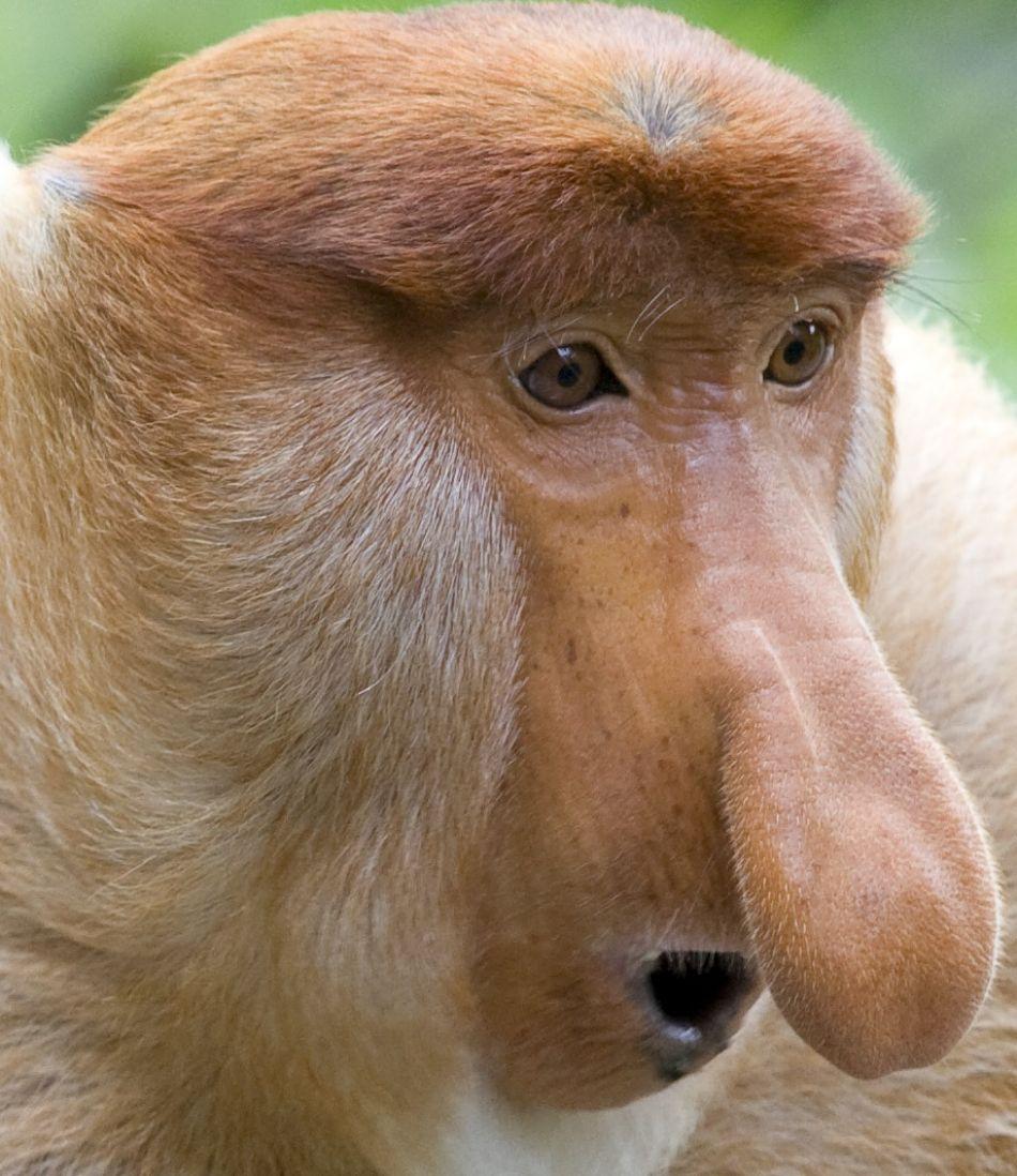 Animal Extreme Close-up - Proboscus monkey