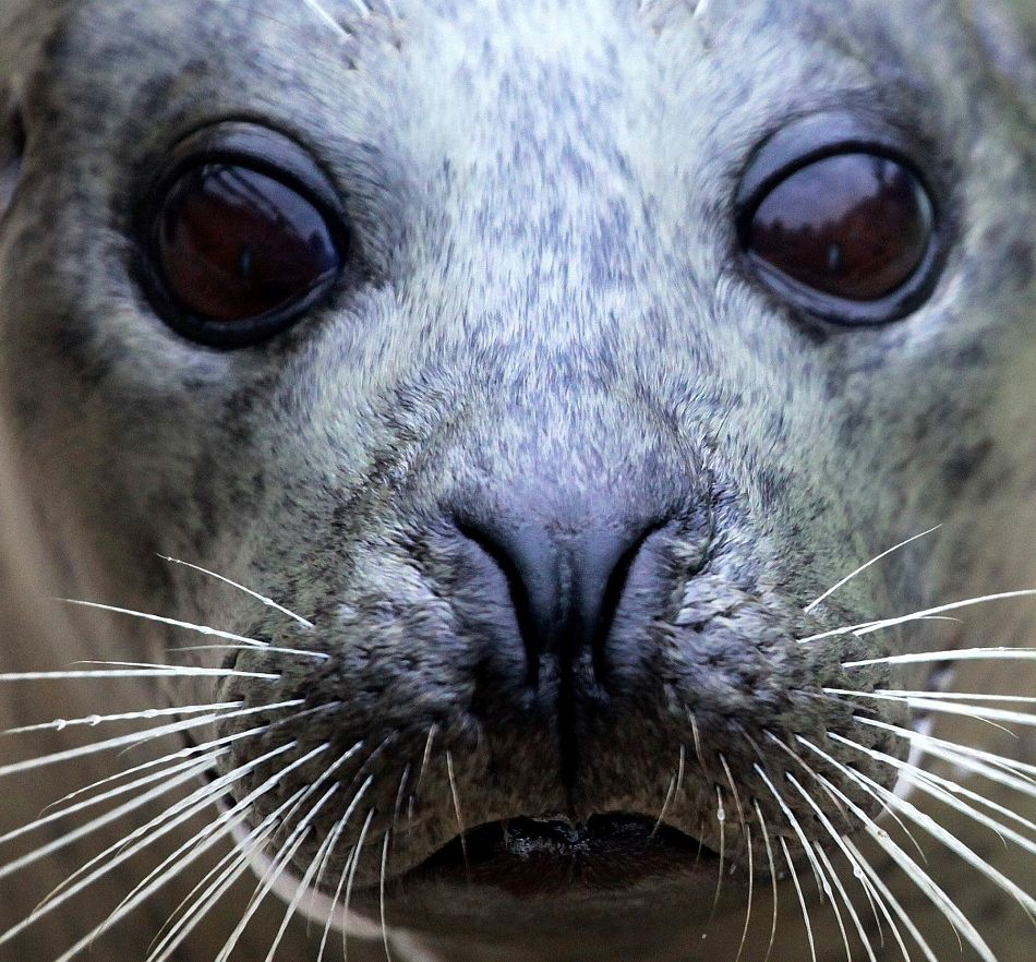 Animal Extreme Close-up Grey Seal