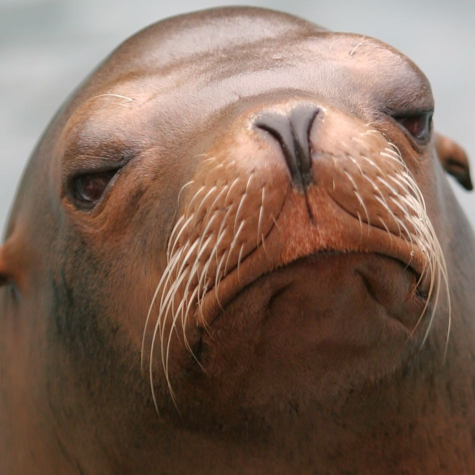 sea lion extreme close-up