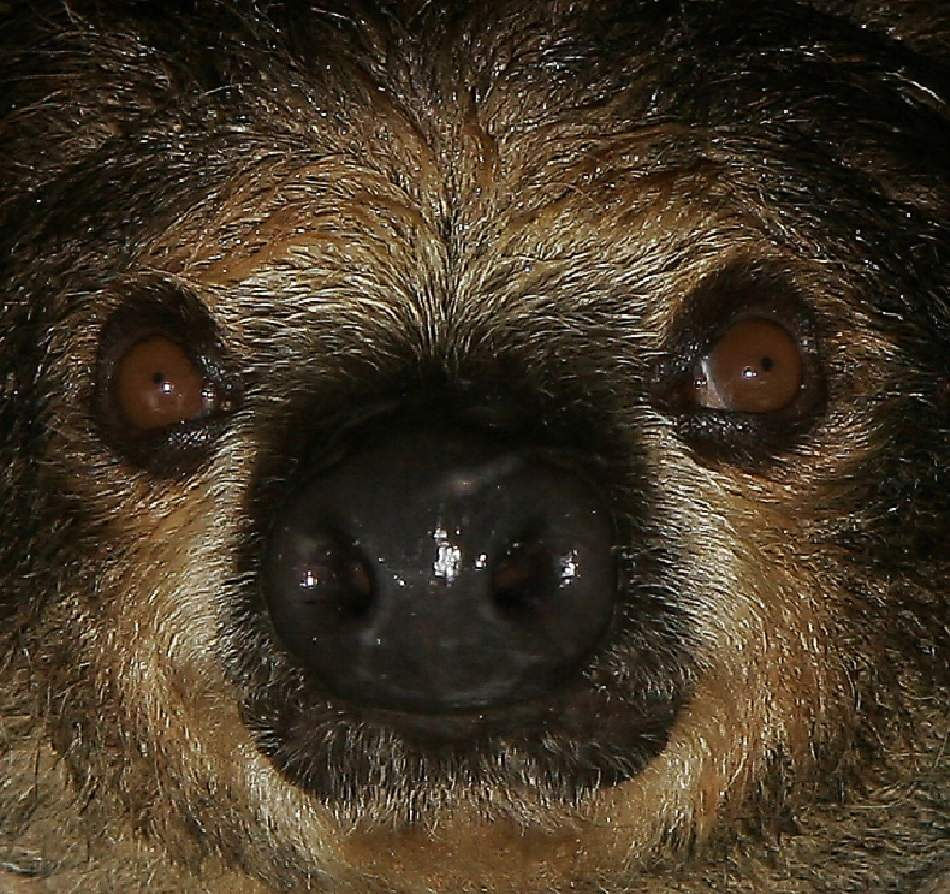 sloth extreme close-up