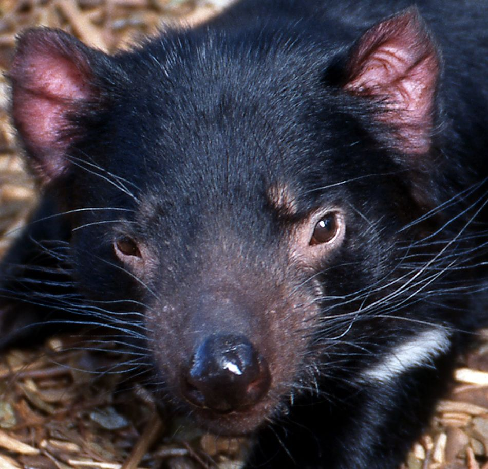 Tasmanian devil extreme close-up