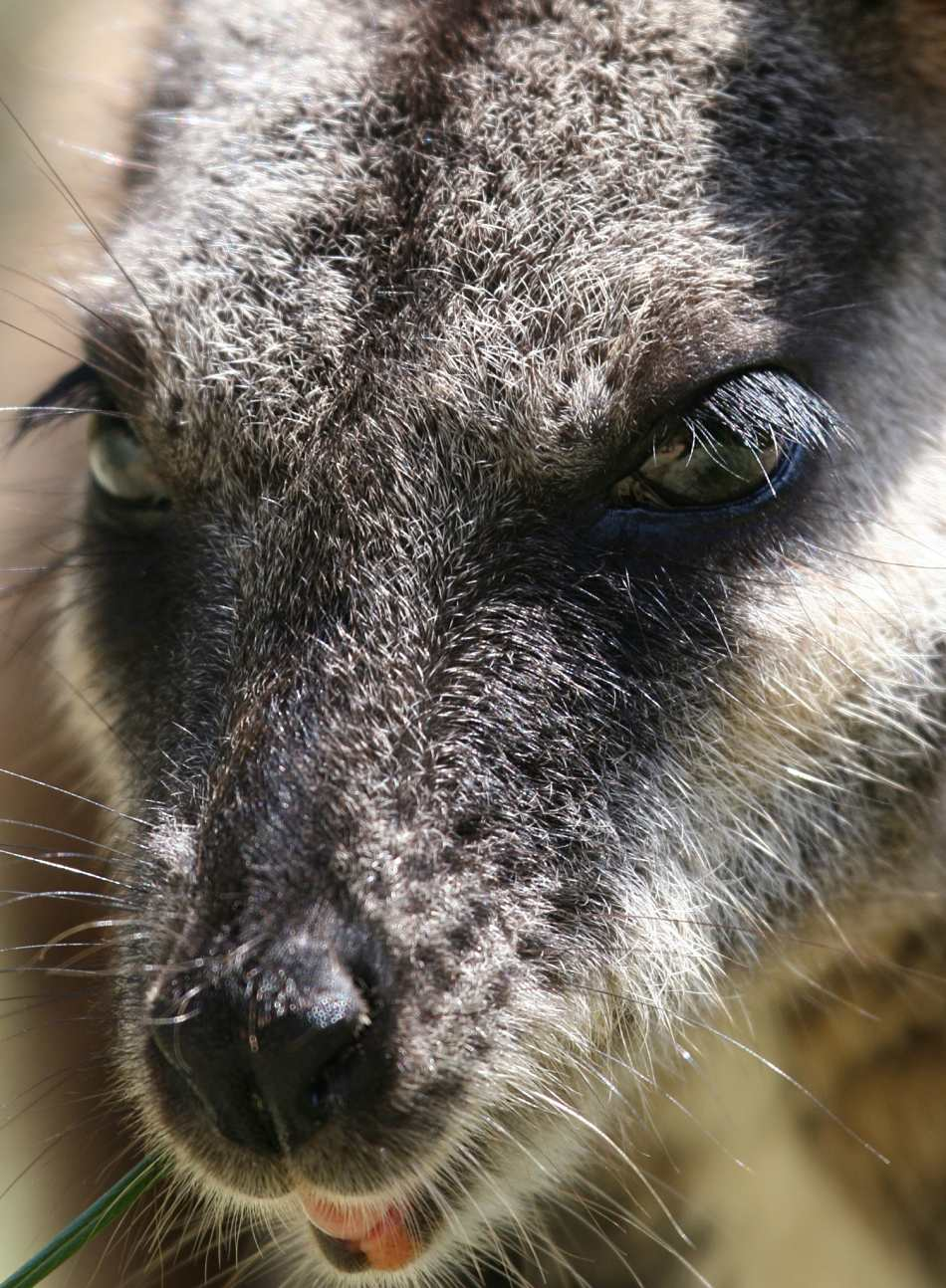 Animal Extreme Close-up - Wallaby
