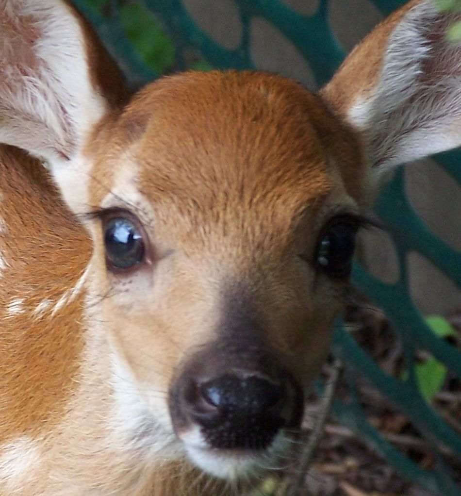Animal Extreme Close-up - Whitetail Fawn