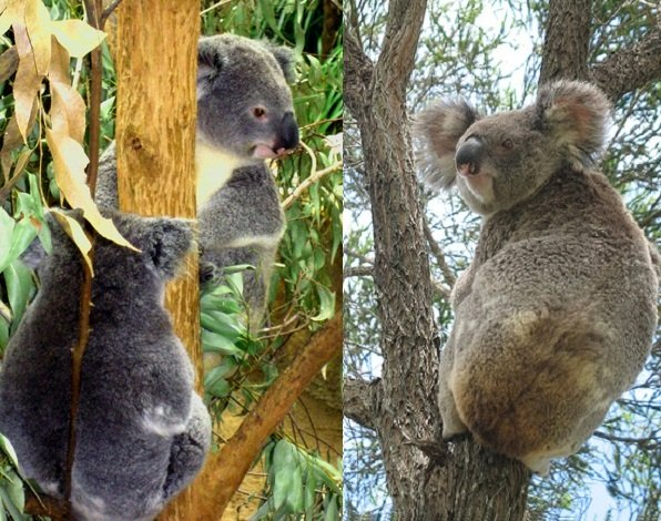 koalas in trees