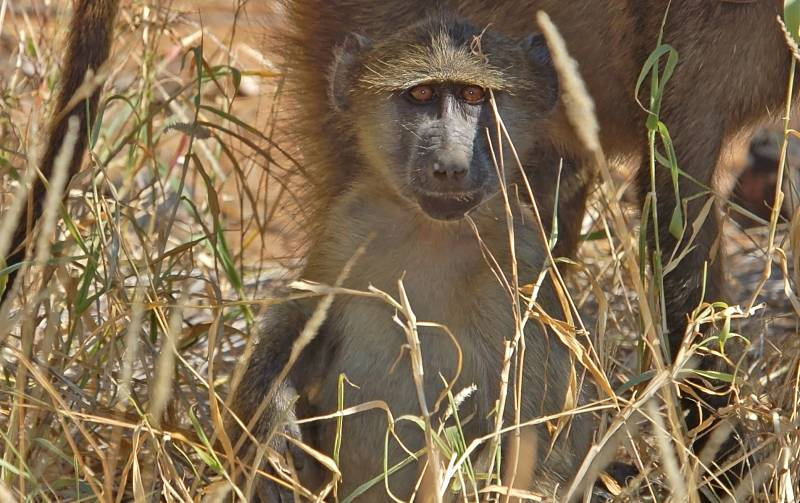 baby baboon in tall grass
