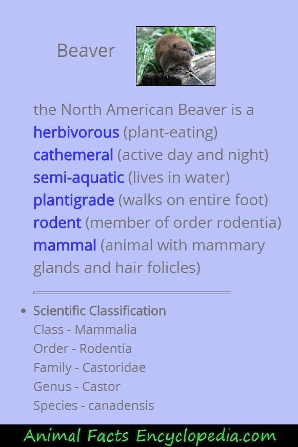 beaver science
