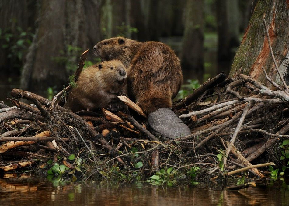 beaver mother and baby