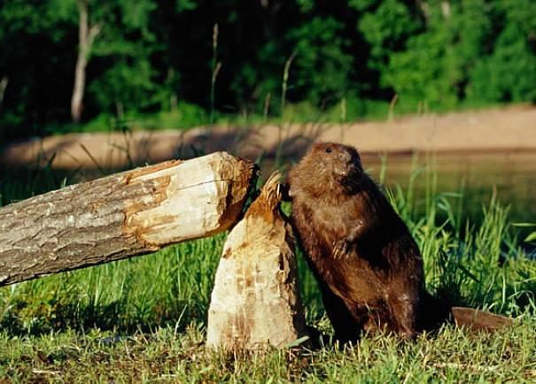 beaver by tree