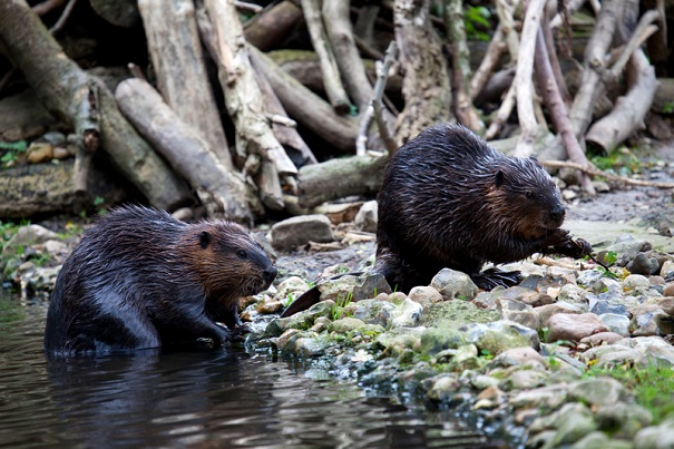 beaver pair