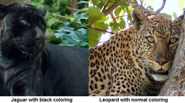 leopard and jaguar