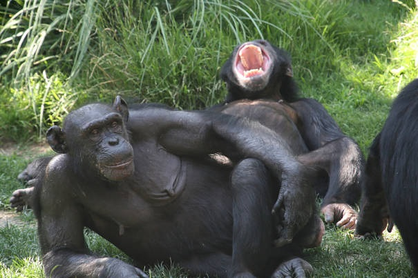 laughing bonobo