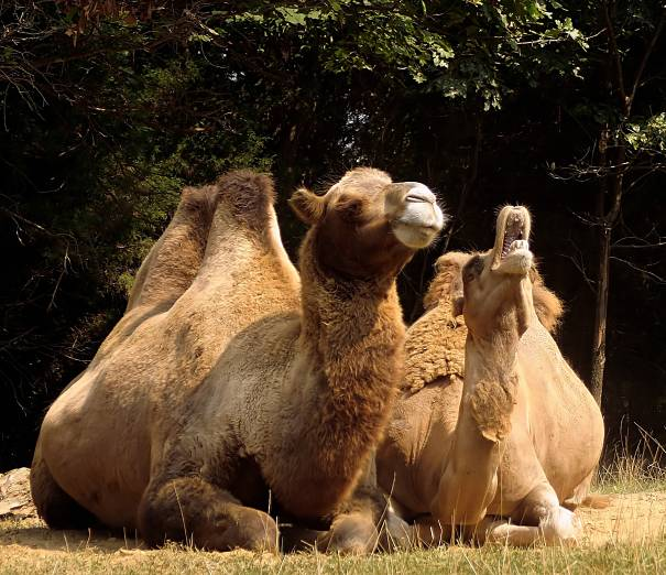 Bactrian camel mother and calf