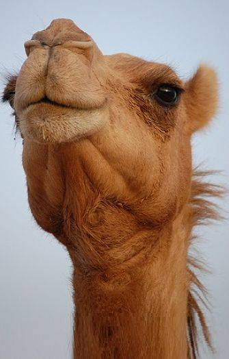 Camel Facts - Animal Facts Encyclopedia