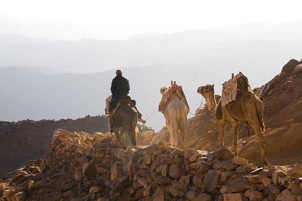camels packed