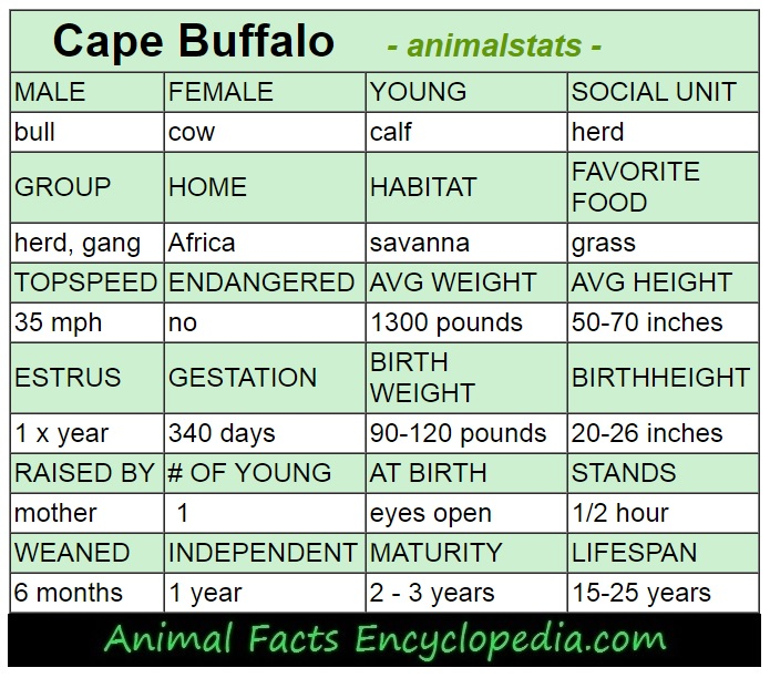 cape buffalo animal stats