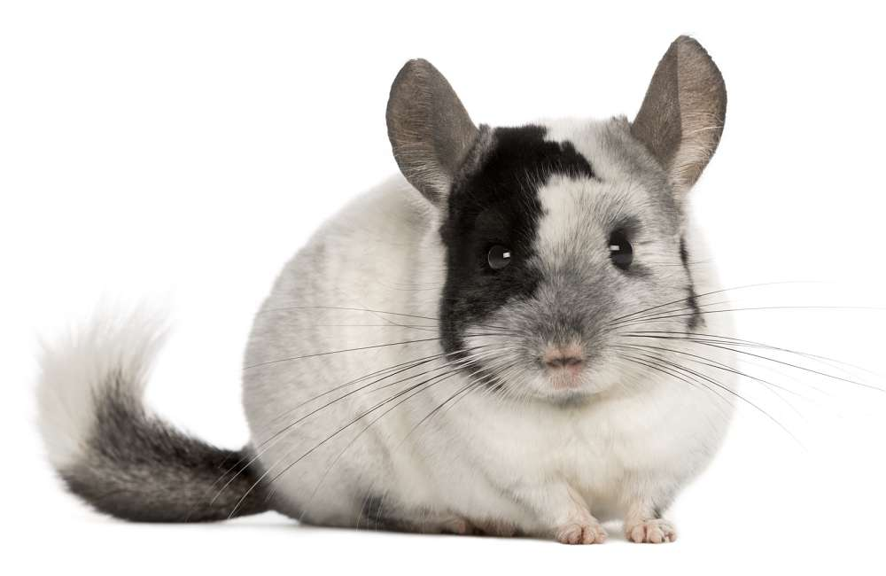 black and white chinchilla