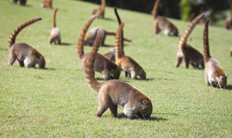 coatimundi troop feeding