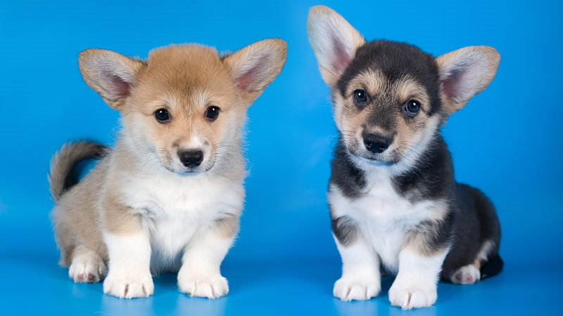 two adorable corgi puppies