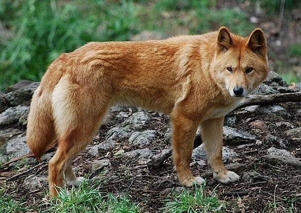 big red dingo