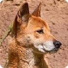dingo facts