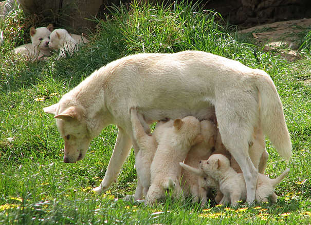 dingo mother and pups