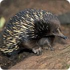 Echidna Facts