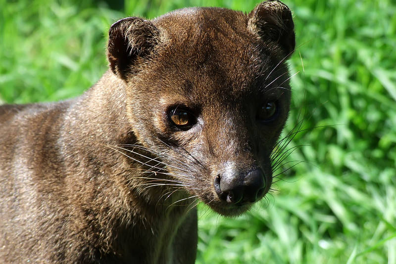 fossa extreme close-up