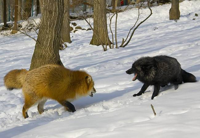 normal red fox and melanistic