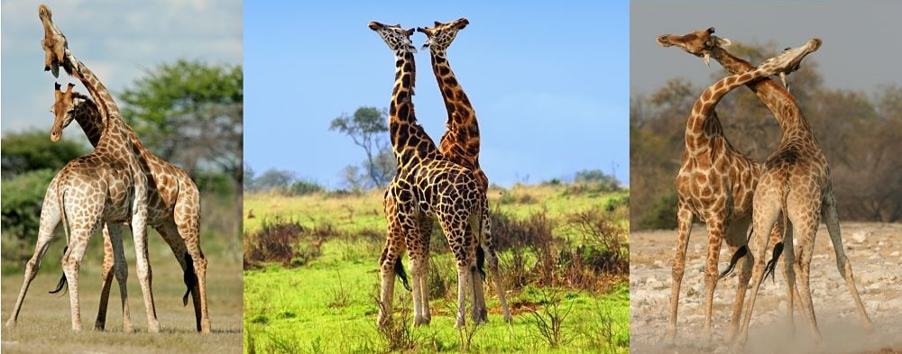 giraffe mother and infant