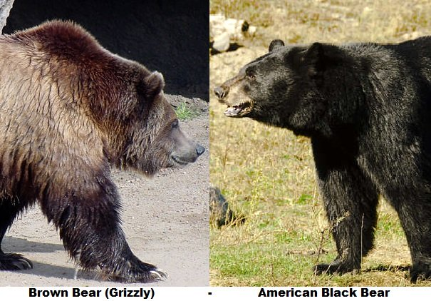 grizzly bear black bear side by side comparison